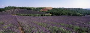 Lavenders Growing in a Field, Provence, France