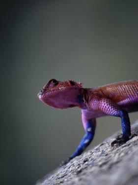 Agama Lizard (Agama Agama), Serengeti National Park, Arusha, Tanzania by Lawrence Worcester