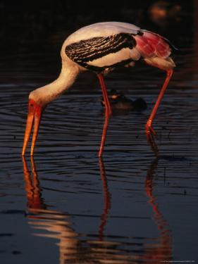 Painted Stork (Ibis Leucocephalus), Sri Lanka by Lawrence Worcester