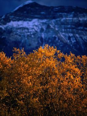 Treetop and Mountain at Waterton Lake Township Valley, Waterton Lakes National Park, Alberta by Lawrence Worcester