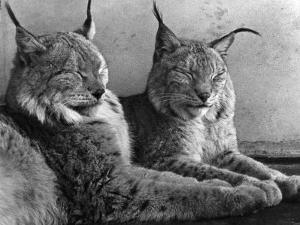 """Laying in Noonday Sun"" Beautiful Pair of Northern Lynx Effected by Sudden Warm Spell"