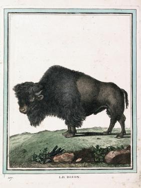 Le Bison Illustration