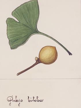 Leaf and Fruit of Ginkgo (Ginkgo Biloba), Ginkgoaceae