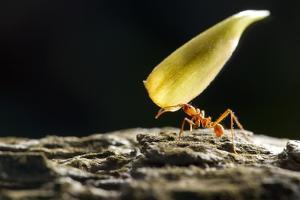 Leafcutter Ant, Costa Rica