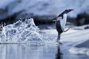 Leaping Gentoo Penguin, Antarctica