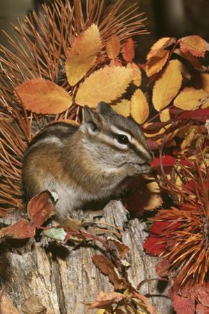 Least Chipmunk Among Leaves
