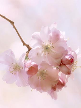 Cherryblossoms by Lebens Art