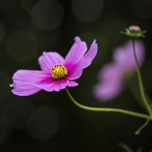 Cosmea Flower - Square by Lebens Art