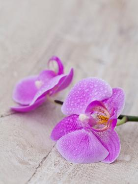 Orchid Pink by Lebens Art