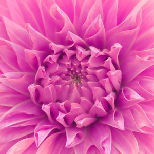 Pink Dahlia - Square by Lebens Art
