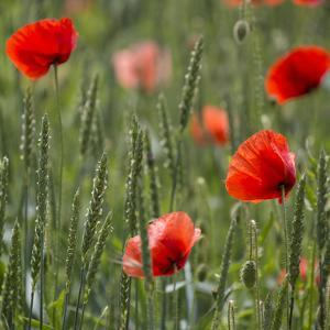 Poppy Field - Square by Lebens Art
