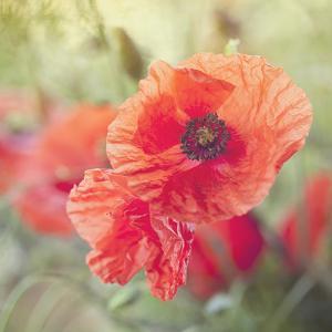Poppy Flower Meadow - Square by Lebens Art