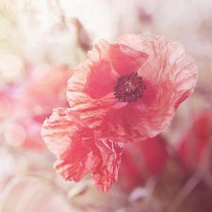 Soft Poppy - Square by Lebens Art