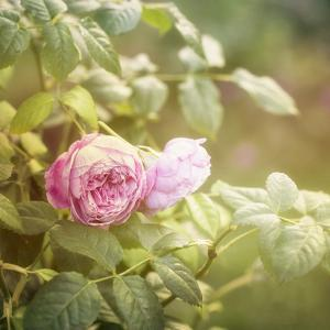 Summer Rose - Square by Lebens Art