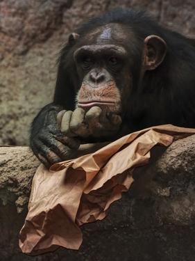 Thoughtful Chimpanzee by Lebens Art