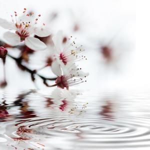 White Cherry Blossom - Square by Lebens Art