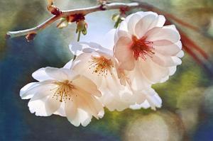 Cherry Blossom 1 by Leda Robertson