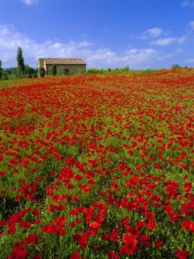 Field of Poppies and Barn, Near Montepulciano, Tuscany, Italy by Lee Frost