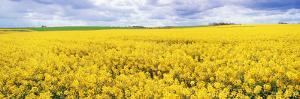 Fields of Oil Seed Rape, Near Seahouses, Northumberland, England, United Kingdom, Europe by Lee Frost