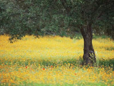 Olive Tree in Field of Wild Flowers, Near Fez, Morocco, North Africa, Africa by Lee Frost