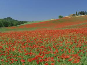 Poppy Field Near Montechiello, Tuscany, Italy by Lee Frost