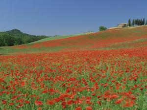 Poppy Field Near Montechiello, Tuscany, Italy by Lee Frost