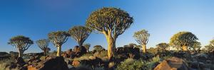 Quiver Trees, Namibia, Africa. by Lee Frost