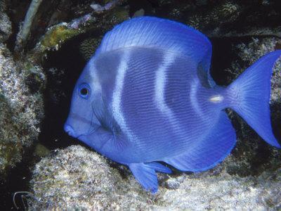 Close-up of Bluefish Underwater