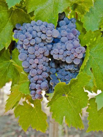 Cougar Winery Grapes I