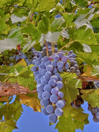 Cougar Winery Grapes II