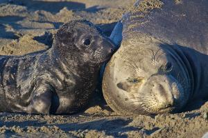 Elephant Seals I by Lee Peterson