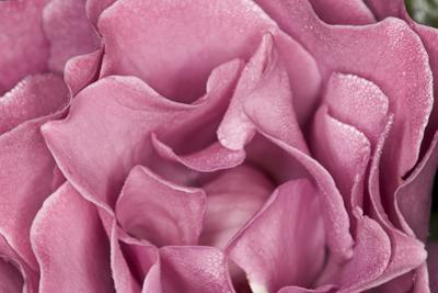 Rose Up Close II