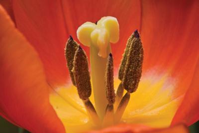 Tulip Up Close I
