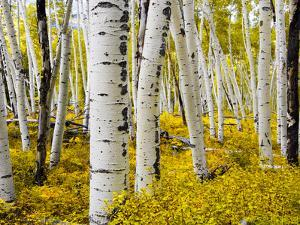 Aspen Forest in Autumn by Leieng