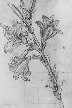 'A Lily', c1480 (1945) by Leonardo Da Vinci