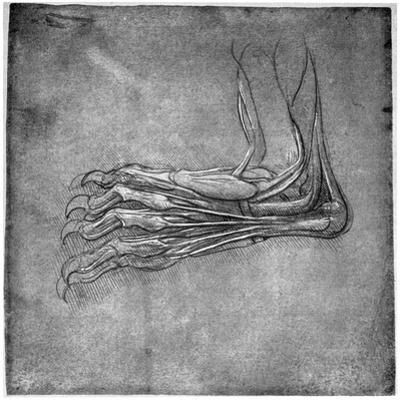 Muscles and Sinews in a Foot, Possibly of a Hare, Late 15th or Early 16th Century by Leonardo da Vinci