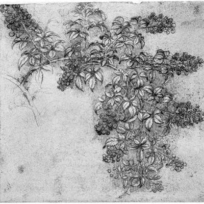 Study of a Blackberry Branch, Late 15th or Early 16th Century by Leonardo da Vinci