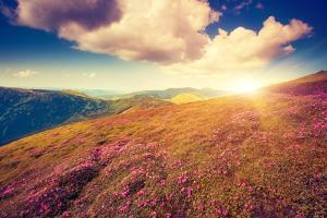 Magic Pink Rhododendron Flowers. Dramatic Scenery. Carpathian, Ukraine, Europe. Beauty World. Retro by Leonid Tit
