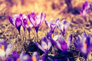 Purple Crocus Flower on the Spring Meadow. Carpathian, Ukraine, Europe. Beauty World. Retro Filtere by Leonid Tit