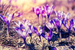 Purple Crocus Flower on the Spring Meadow. Carpathian, Ukraine, Europe. Beauty World. Retro Filtere by Leonid Tit