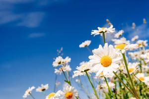 Summer Field with White Daisies on Blue Sky. Ukraine, Europe. Beauty World. by Leonid Tit