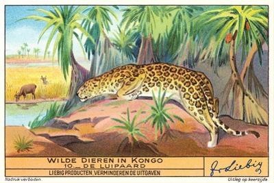 Leopard in the Congo