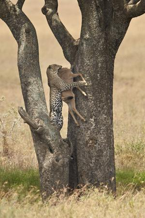 https://imgc.allpostersimages.com/img/posters/leopard-panthera-pardus-carrying-a-days-old-blue-wildebeest-brindled-gnu-calf-up-a-tree_u-L-PWFI5N0.jpg?p=0