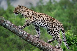 Leopard (Panthera Pardus) Climbing on Tree, Ndutu, Ngorongoro Conservation Area, Tanzania