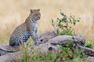 Leopard (Panthera Pardus) Climbing on Tree, Serengeti National Park, Tanzania