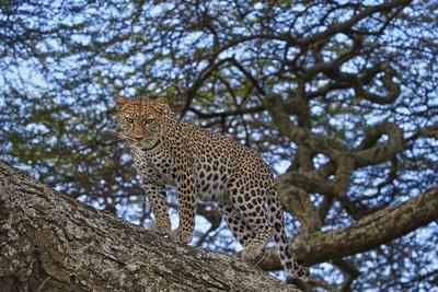 https://imgc.allpostersimages.com/img/posters/leopard-panthera-pardus-in-a-tree_u-L-PWFE5V0.jpg?p=0