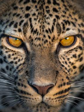 Leopard (Panthera Pardus), Ndutu, Ngorongoro Conservation Area, Tanzania
