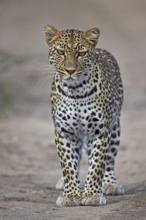 https://imgc.allpostersimages.com/img/posters/leopard-panthera-pardus-ngorongoro-conservation-area-serengeti-tanzania-east-africa-africa_u-L-PWFG5J0.jpg?p=0