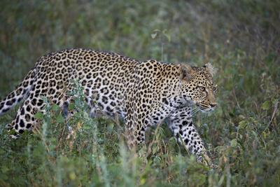 https://imgc.allpostersimages.com/img/posters/leopard-panthera-pardus-ngorongoro-conservation-area-serengeti-tanzania-east-africa-africa_u-L-PWFJMF0.jpg?p=0