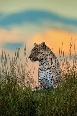 Leopard (Panthera Pardus), Serengeti National Park, Tanzania